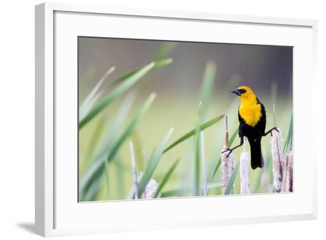 Wyoming, Sublette County, a Yellow-Headed Blackbird Male Straddles Several Cattails-Elizabeth Boehm-Framed Art Print