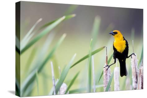 Wyoming, Sublette County, a Yellow-Headed Blackbird Male Straddles Several Cattails-Elizabeth Boehm-Stretched Canvas Print