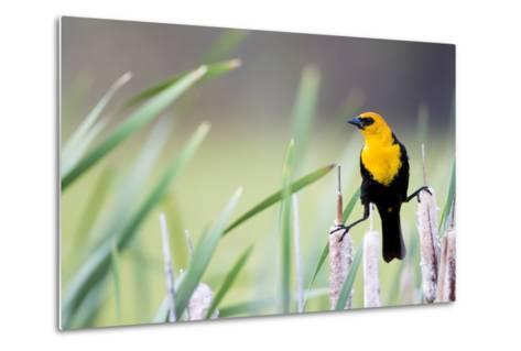 Wyoming, Sublette County, a Yellow-Headed Blackbird Male Straddles Several Cattails-Elizabeth Boehm-Metal Print
