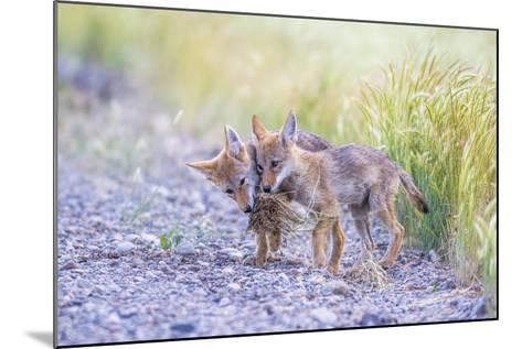Montana, Red Rock Lakes National Wildlife Refuge, Two Coyote Pups Play with a Clump of Grass-Elizabeth Boehm-Mounted Photographic Print