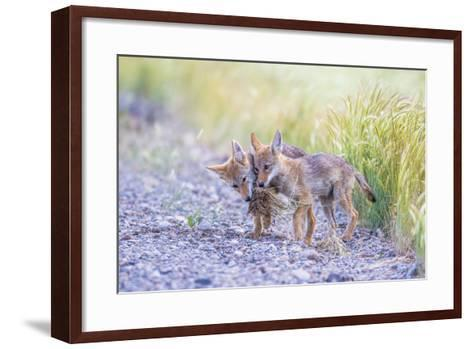 Montana, Red Rock Lakes National Wildlife Refuge, Two Coyote Pups Play with a Clump of Grass-Elizabeth Boehm-Framed Art Print