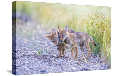 Montana, Red Rock Lakes National Wildlife Refuge, Two Coyote Pups Play with a Clump of Grass-Elizabeth Boehm-Stretched Canvas Print