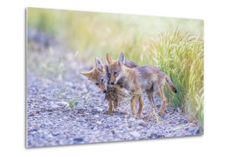 Montana, Red Rock Lakes National Wildlife Refuge, Two Coyote Pups Play with a Clump of Grass-Elizabeth Boehm-Metal Print