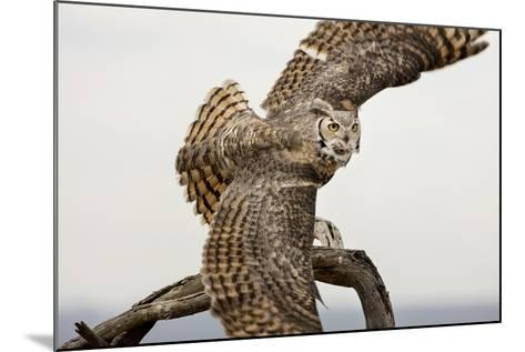 Great Horned Owl, Sonora Desert , Tucson, Arizona, Usa-Chuck Haney-Mounted Photographic Print