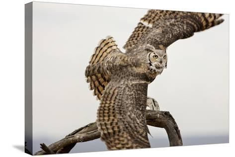 Great Horned Owl, Sonora Desert , Tucson, Arizona, Usa-Chuck Haney-Stretched Canvas Print