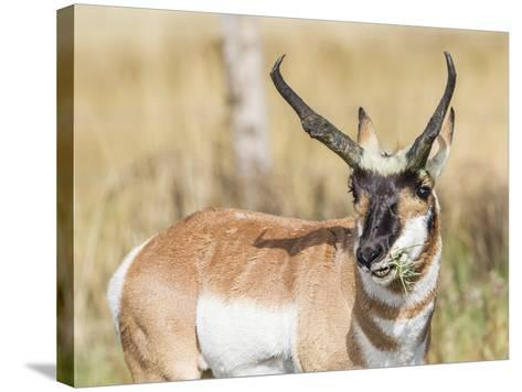 Wyoming, Sublette County, a Pronghorn Male Eating Forbes-Elizabeth Boehm-Stretched Canvas Print