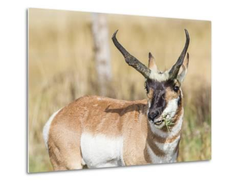 Wyoming, Sublette County, a Pronghorn Male Eating Forbes-Elizabeth Boehm-Metal Print