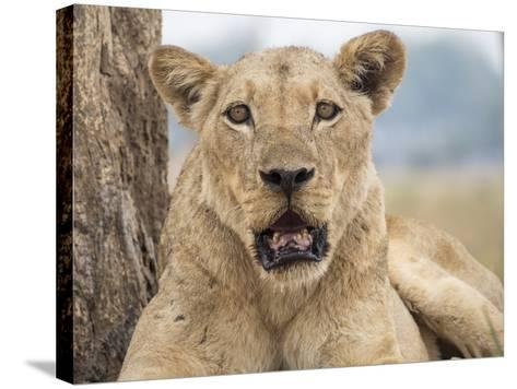 Africa, Zambia. Portrait of Lioness-Jaynes Gallery-Stretched Canvas Print