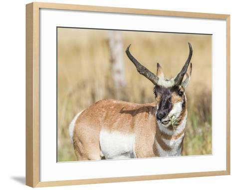 Wyoming, Sublette County, a Pronghorn Male Eating Forbes-Elizabeth Boehm-Framed Art Print