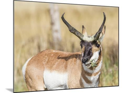 Wyoming, Sublette County, a Pronghorn Male Eating Forbes-Elizabeth Boehm-Mounted Photographic Print