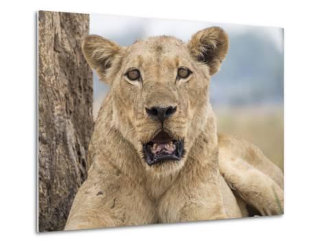 Africa, Zambia. Portrait of Lioness-Jaynes Gallery-Metal Print