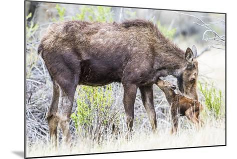 Wyoming, Sublette County, a Cow Moose Licks Her Newborn Calf-Elizabeth Boehm-Mounted Photographic Print