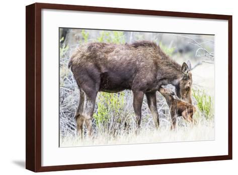 Wyoming, Sublette County, a Cow Moose Licks Her Newborn Calf-Elizabeth Boehm-Framed Art Print
