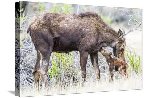 Wyoming, Sublette County, a Cow Moose Licks Her Newborn Calf-Elizabeth Boehm-Stretched Canvas Print