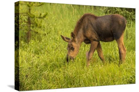 Colorado, Rocky Mountain National Park. Close-Up of Moose Calf-Jaynes Gallery-Stretched Canvas Print