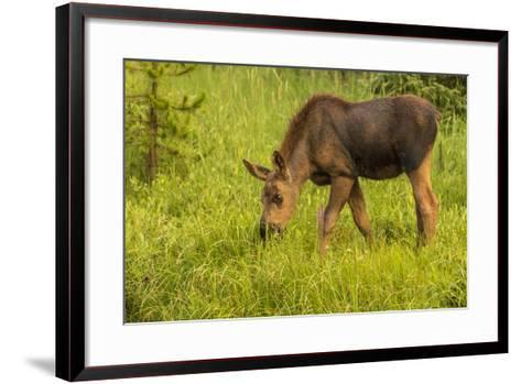 Colorado, Rocky Mountain National Park. Close-Up of Moose Calf-Jaynes Gallery-Framed Art Print