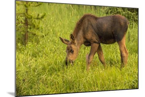 Colorado, Rocky Mountain National Park. Close-Up of Moose Calf-Jaynes Gallery-Mounted Photographic Print