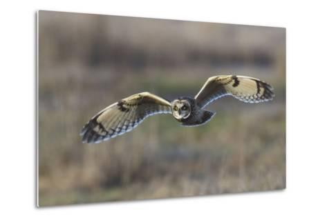 Short-Eared Owl Hunting-Ken Archer-Metal Print