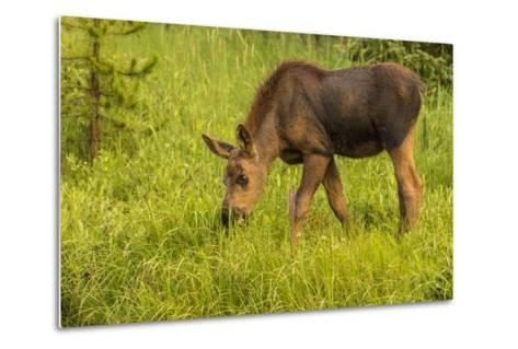 Colorado, Rocky Mountain National Park. Close-Up of Moose Calf-Jaynes Gallery-Metal Print