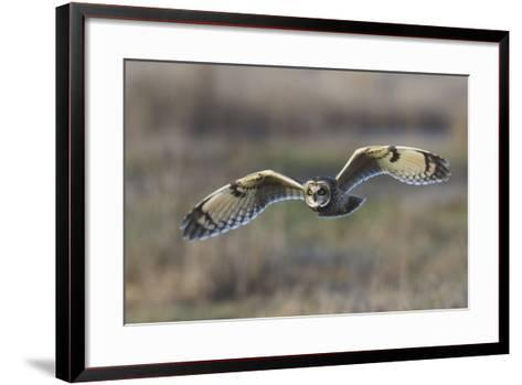 Short-Eared Owl Hunting-Ken Archer-Framed Art Print