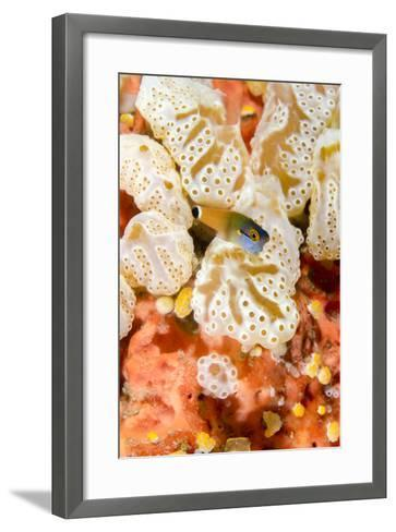 Indonesia, West Papua, Raja Ampat. Close-Up of Coral and Blenny Fish-Jaynes Gallery-Framed Art Print