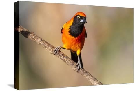 Brazil, Mato Grosso, the Pantanal, Orange-Backed Troupial on a Branch-Ellen Goff-Stretched Canvas Print