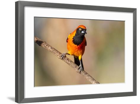 Brazil, Mato Grosso, the Pantanal, Orange-Backed Troupial on a Branch-Ellen Goff-Framed Art Print