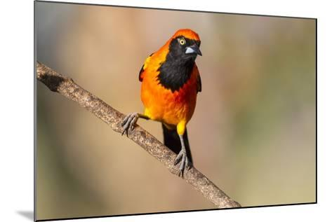 Brazil, Mato Grosso, the Pantanal, Orange-Backed Troupial on a Branch-Ellen Goff-Mounted Photographic Print