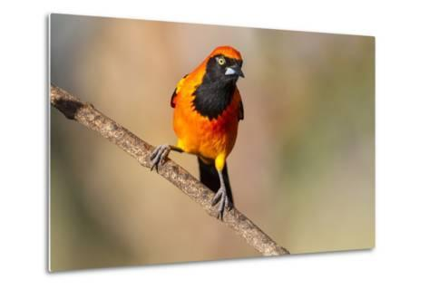 Brazil, Mato Grosso, the Pantanal, Orange-Backed Troupial on a Branch-Ellen Goff-Metal Print