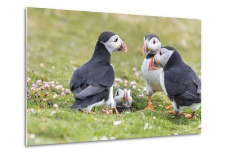 Atlantic Puffin. Scotland, Shetland Islands-Martin Zwick-Metal Print