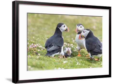 Atlantic Puffin. Scotland, Shetland Islands-Martin Zwick-Framed Art Print