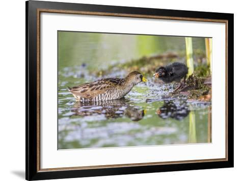 Wyoming, Sublette County, a Sora Feeds it's Chick in a Cattail Marsh-Elizabeth Boehm-Framed Art Print