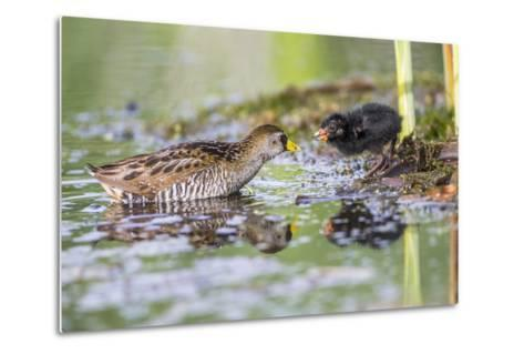 Wyoming, Sublette County, a Sora Feeds it's Chick in a Cattail Marsh-Elizabeth Boehm-Metal Print