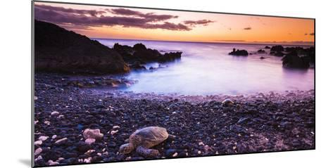 Hawaiian Green Sea Turtles on a Lava Beach at Sunset, Kohala Coast, the Big Island, Hawaii-Russ Bishop-Mounted Photographic Print