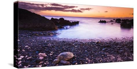 Hawaiian Green Sea Turtles on a Lava Beach at Sunset, Kohala Coast, the Big Island, Hawaii-Russ Bishop-Stretched Canvas Print