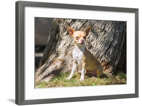 Chihuahua Looking-Zandria Muench Beraldo-Framed Art Print
