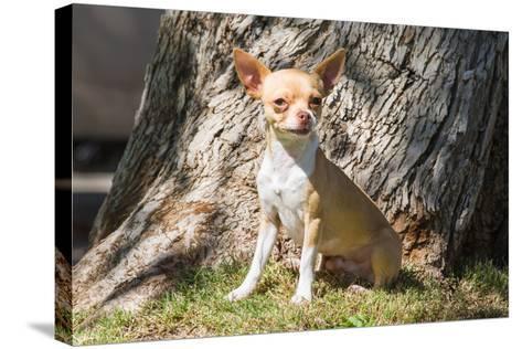 Chihuahua Looking-Zandria Muench Beraldo-Stretched Canvas Print