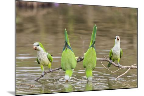 Brazil, Mato Grosso, the Pantanal. Monk Parakeets on a Branch and Drinking-Ellen Goff-Mounted Photographic Print
