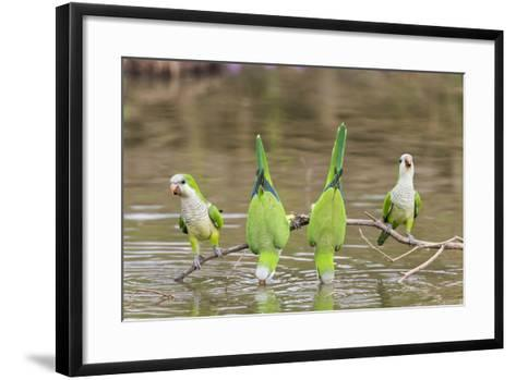 Brazil, Mato Grosso, the Pantanal. Monk Parakeets on a Branch and Drinking-Ellen Goff-Framed Art Print