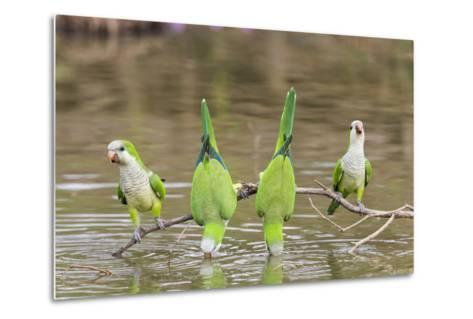 Brazil, Mato Grosso, the Pantanal. Monk Parakeets on a Branch and Drinking-Ellen Goff-Metal Print