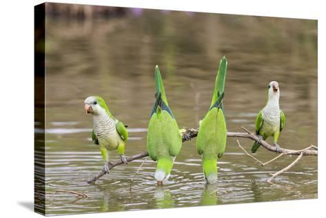 Brazil, Mato Grosso, the Pantanal. Monk Parakeets on a Branch and Drinking-Ellen Goff-Stretched Canvas Print