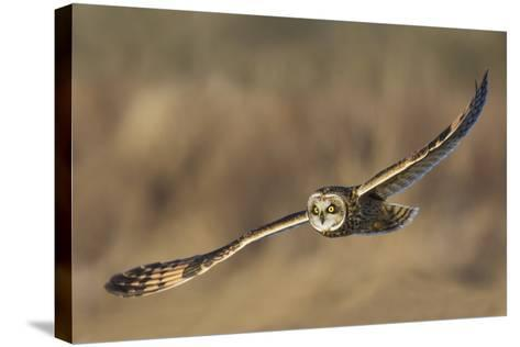 Short-Eared Owl Hunting-Ken Archer-Stretched Canvas Print