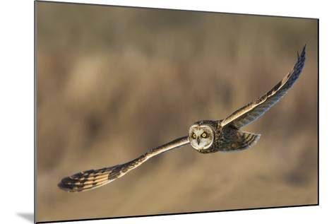 Short-Eared Owl Hunting-Ken Archer-Mounted Photographic Print