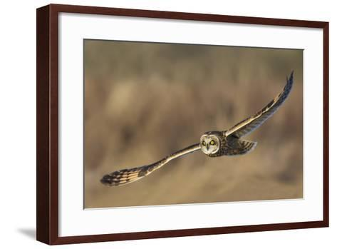 Short-Eared Owl Hunting-Ken Archer-Framed Art Print