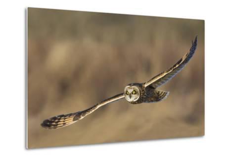 Short-Eared Owl Hunting-Ken Archer-Metal Print
