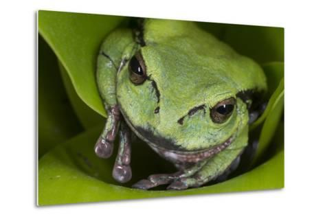 Andean Marsupial Tree Frog, Ecuador-Pete Oxford-Metal Print