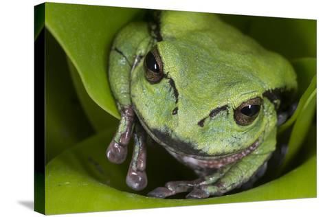 Andean Marsupial Tree Frog, Ecuador-Pete Oxford-Stretched Canvas Print