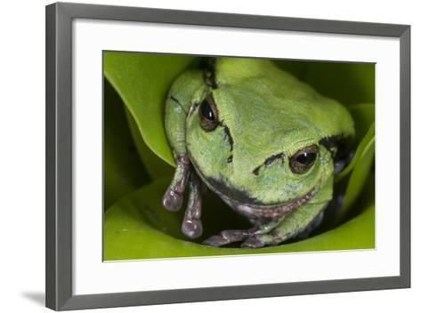 Andean Marsupial Tree Frog, Ecuador-Pete Oxford-Framed Art Print