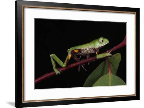 Agua Rica Leaf Frog, Amazon, Ecuador-Pete Oxford-Framed Art Print