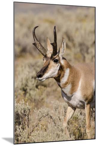 Pronghorn in Lamar Valley, Yellowstone National Park, Wyoming-Michael DeFreitas-Mounted Photographic Print